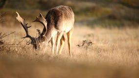 Ugoru rogacza Dama Dama jeleń odpoczywa i pasa zdjęcie wideo