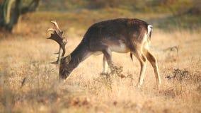 Ugoru rogacza Dama Dama jeleń odpoczywa i pasa zbiory wideo