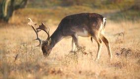 Ugoru rogacza Dama Dama jelenia pasanie w łące zbiory wideo