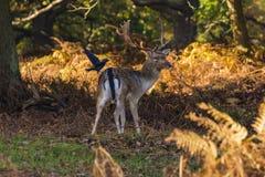 Ugoru rogacza jeleń obraz stock