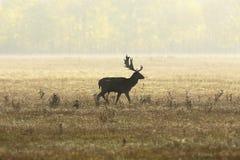 Ugoru rogacza jeleń w pięknym jesieni świetle zdjęcia royalty free