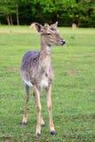 Ugory - ugoru rogacz (Dama dama) Piękny naturalny tło z zwierzętami obrazy royalty free