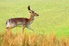 Ugory - ugoru rogacz Dama dama Piękny naturalny tło z zwierzętami fotografia royalty free
