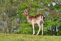 Ugory - ugoru rogacz Dama dama Piękny naturalny tło z zwierzętami zdjęcia royalty free