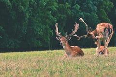 Ugory - ugoru rogacz (Dama dama) Piękny naturalny tło z zwierzętami Las i natura z zmierzchem fotografia stock