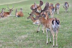 Ugory - ugoru rogacz (Dama dama) Piękny naturalny tło z zwierzętami Las i natura z zmierzchem zdjęcia royalty free