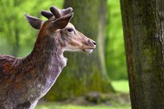 Ugory - ugoru rogacz Dama dama Piękny naturalny tło z zwierzętami Las i natura z zmierzchem obraz royalty free