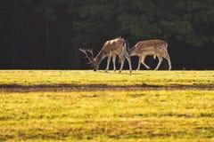 Ugory - ugoru rogacz Dama dama Piękny naturalny tło z zwierzętami Las i zmierzch zdjęcie stock