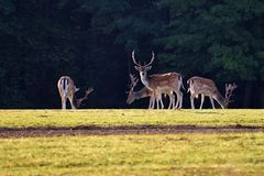 Ugory - ugoru rogacz Dama dama Piękny naturalny tło z zwierzętami Las i zmierzch fotografia royalty free