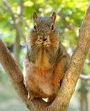 Uh-Oh. Funny squirrel with paws covering mouth. Could be saying, Uh-Oh or I have a secret etc Royalty Free Stock Photography