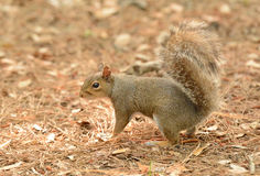 Uh-oh Eichhörnchen lizenzfreies stockfoto