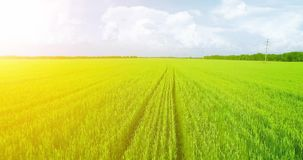 UHD 4K aerial view. Low flight over green and yellow wheat rural field. At sunny summer day. Green trees and sun rays on horizon. Fast horizontal movement stock video