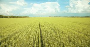 UHD 4K aerial view. Low flight over green and yellow wheat rural field stock footage