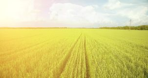 UHD 4K aerial view. Low flight over green and yellow wheat rural field. At sunny summer day. Green trees and sun rays on horizon. Fast horizontal movement stock footage