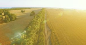UHD 4K aerial view. Low flight over green and yellow wheat rural field and tree line stock video