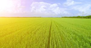 UHD 4K aerial view. Low flight over green and yellow wheat rural field. At sunny summer day. Green trees and sun rays on horizon. Fast horizontal movement stock video footage