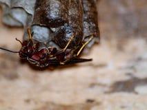 Wespe auf Nest Stockfoto