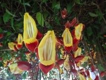 Uhrrebethunbergia mysorensis Stockfotos