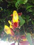Uhrrebethunbergia mysorensis Stockbilder