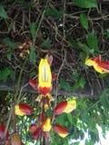 Uhrrebethunbergia mysorensis Stockfotografie
