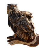 Uhu Bubo Bubo auf einer Hand eines Falkners Lizenzfreie Stockfotografie