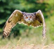 Uhu, der über eine Wiese fliegt Lizenzfreies Stockbild