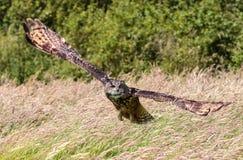 Uhu, der niedrig über einer Wiese swooping ist Stockbild