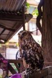 Uhu Eagle Owls /An Stockfoto