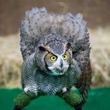 Uhu Eagle Owls /An Stockbild