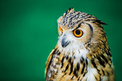 Uhu Eagle Owls /An Stockbilder