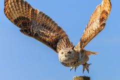 Uhu - Europejski orzeł sowy latanie Fotografia Stock