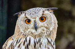 Uhu owl close-up