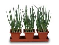 Uien die binnen in 3 potten groeien Stock Afbeelding