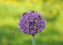 Uien en bijen Royalty-vrije Stock Foto's