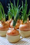 Uien in koppen worden geplant die stock afbeeldingen