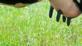 Uier van een koe met zwart uitsteekselsclose-up Capaciteit met verse melk stock fotografie