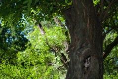 Uil in de holle boom in het bos op een de zomerdag Stock Afbeelding