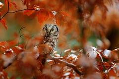 Uil in de oranje bos Boreale uil, Aegolius-funereus, in het oranje bos van de lariksherfst in Midden-Europa, detailportret in t Royalty-vrije Stock Foto