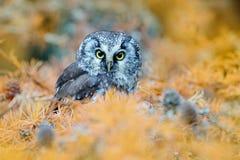 Uil in de oranjegele bladeren wordt verborgen dat Vogel met grote gele ogen De herfstvogel Boreale uil in het oranje bos van de v Royalty-vrije Stock Foto's