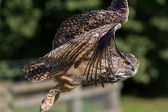 Uil het vliegen Zijaanzicht dichte omhooggaand Eagle-uil Bubo-bubovogel van PR stock afbeelding