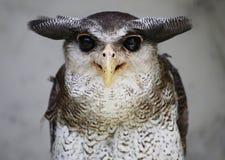 Uil in Kuala Lumpur Bird Park Royalty-vrije Stock Afbeeldingen