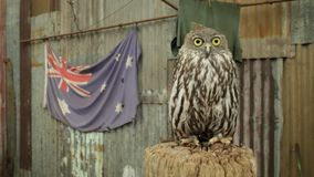 Uil met Australische vlag stock video