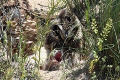 Uil met korte oren op het nest Stock Foto