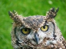 Uil met korte oren tegen groen gras Royalty-vrije Stock Fotografie