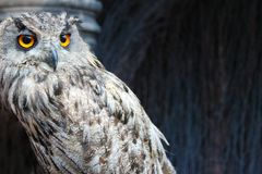 Uil met oranje ogenclose-up royalty-vrije stock foto