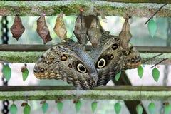 Uil-oog vlinder Stock Afbeeldingen