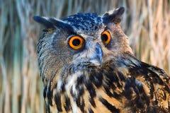 Uilen met grote oranje ogen Stock Afbeelding