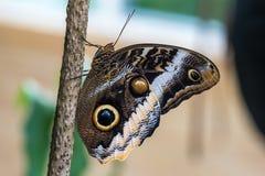 Uilvlinder, caligoeurilochus Mooie bruine vlinder stock foto