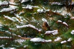 Uilzitting op een sneeuwpijnboom Stock Foto