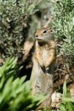 Uinta地松鼠,地面松鼠类armatus 免版税图库摄影